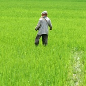 working-rice-paddies-manipur-india