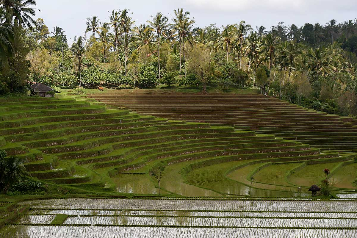 Rice terraces in Bali, Indonesia.
