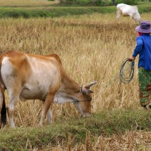 farmer-with-cow-cambodia