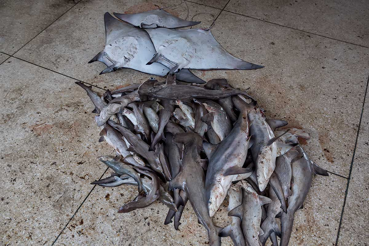 Dead sharks at a local market in Cox's Bazar, Bangladesh.