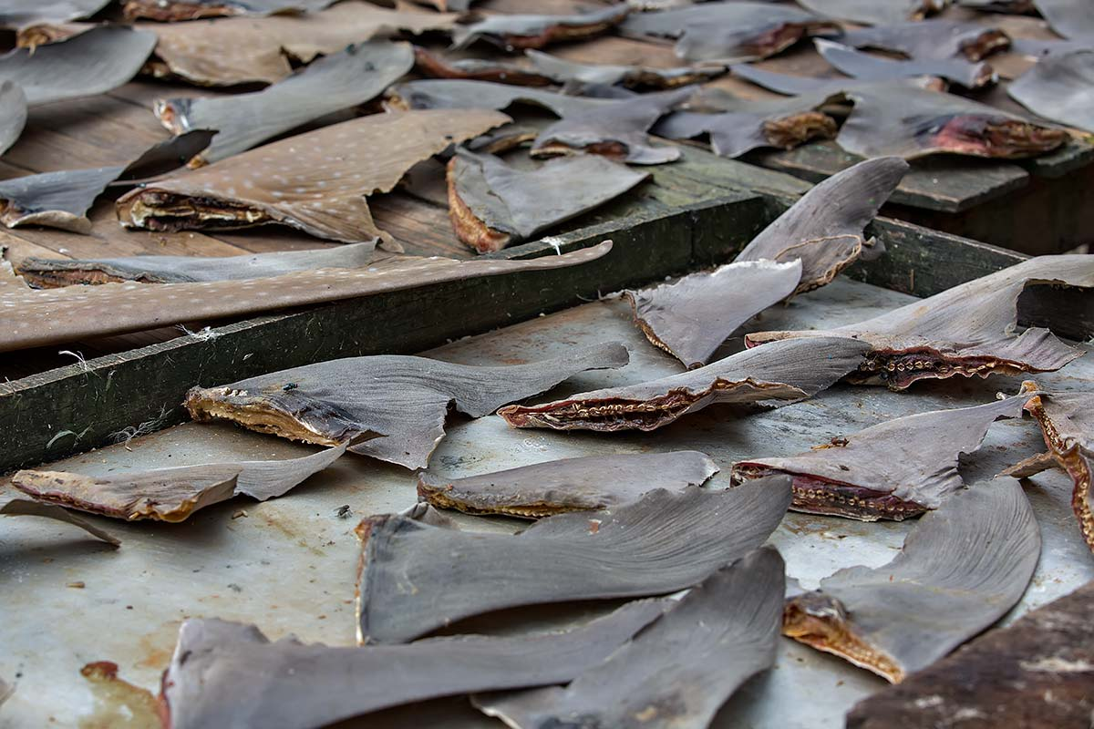 Dried shark fins in Port Blair on the Andaman Islands, India.