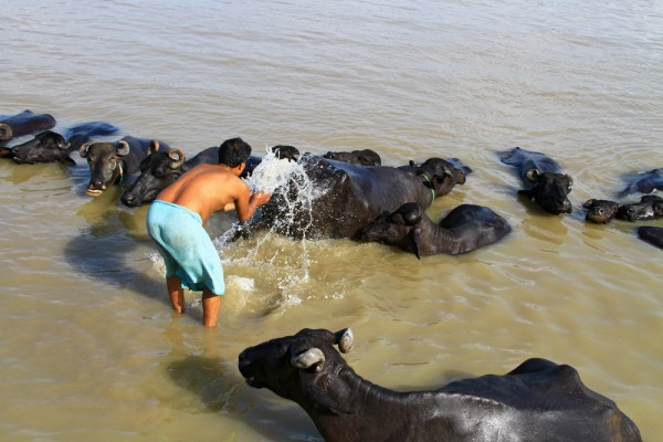 A man washing his buffaloes in the Ganges in Varanasi, India.