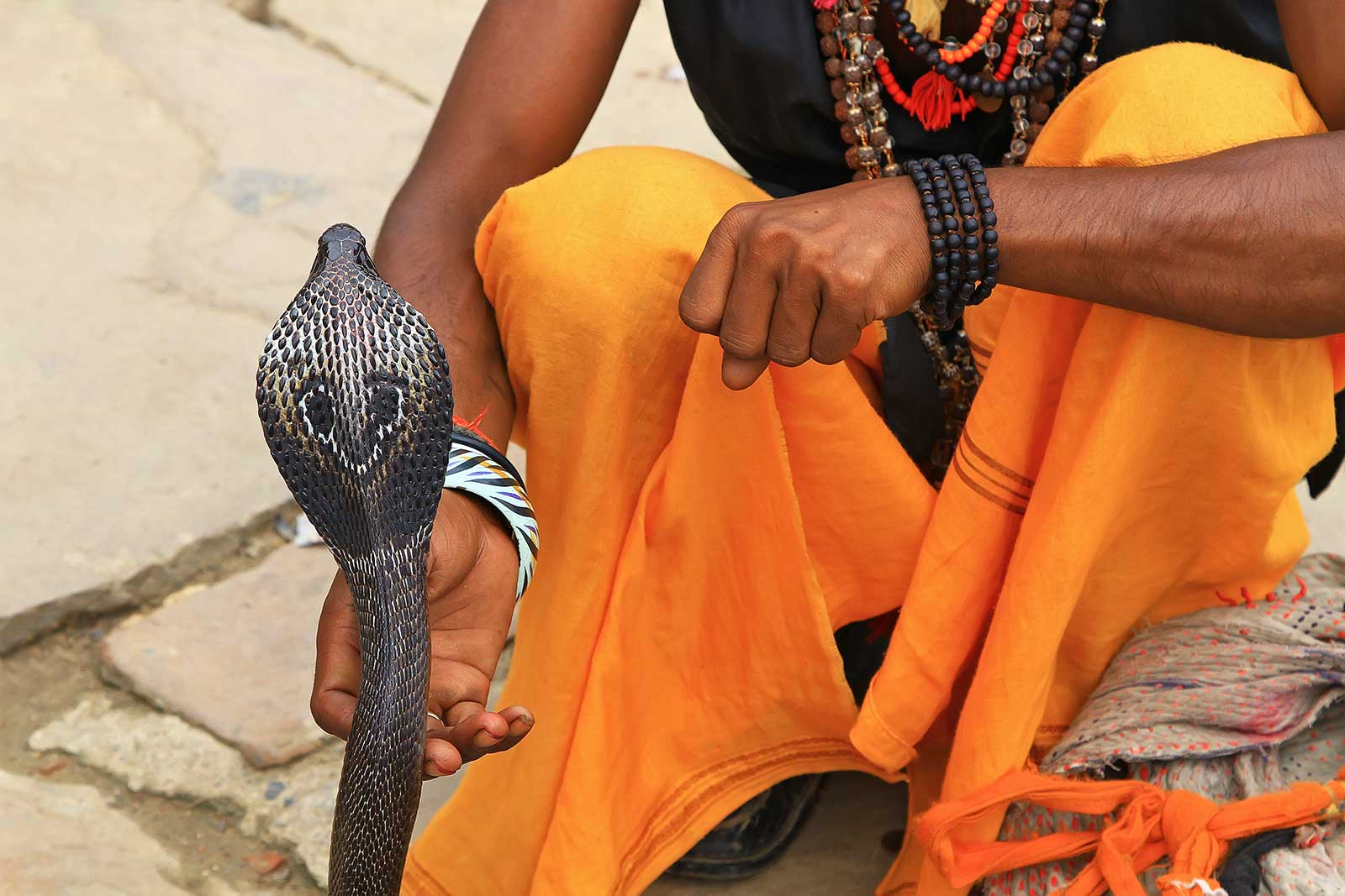"A snake charmer playing with an Indian Cobra in Varanasi. Snake charming is the practice of pretending to hypnotise a snake by playing an instrument called ""pungi"". Although snakes are able to sense sound, they lack the outer ear that would enable them to hear the music. They follow the pungi that the snake charmer holds with their heads. The snake considers the person and pungi a threat and responds to it as if it were a predator."