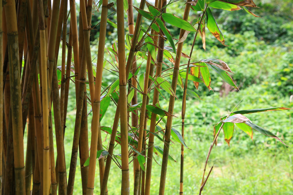 A bamboo tree on Koh Kood island.