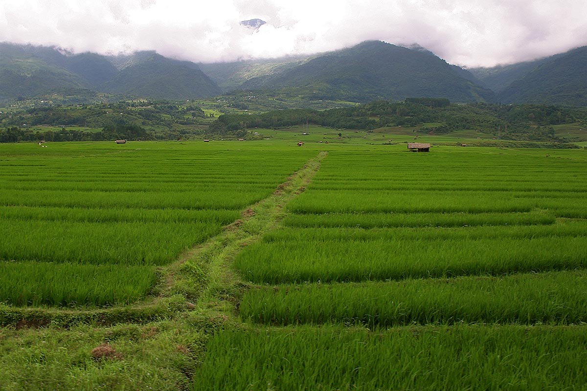 nagaland-rice-fields-india