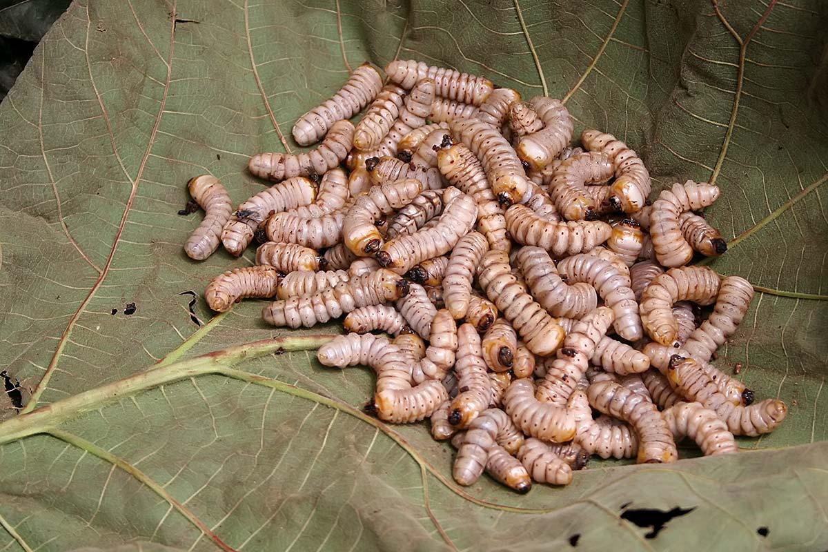 maggots-market-imphal-manipur-india