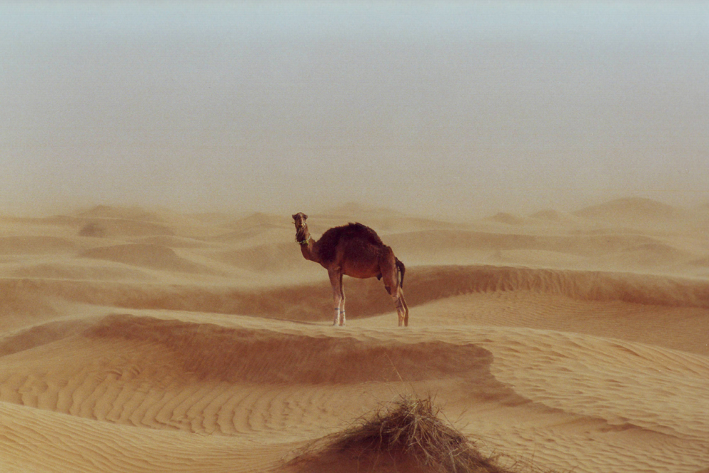 Camels are the lifeline in any desert.