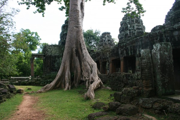 The trees are the real kings of Angkor Wat.