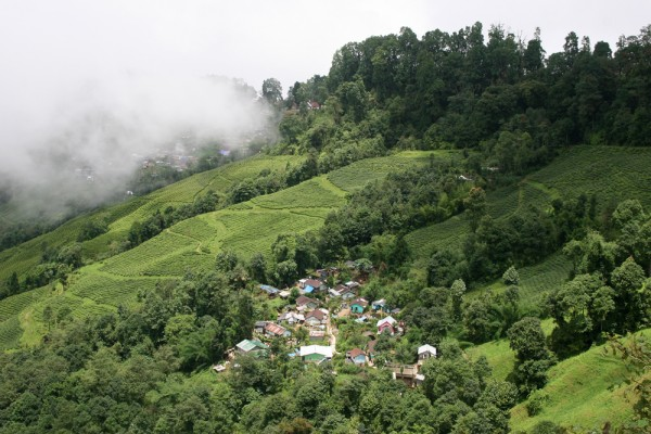 Tea fields in Darjeeling, India.