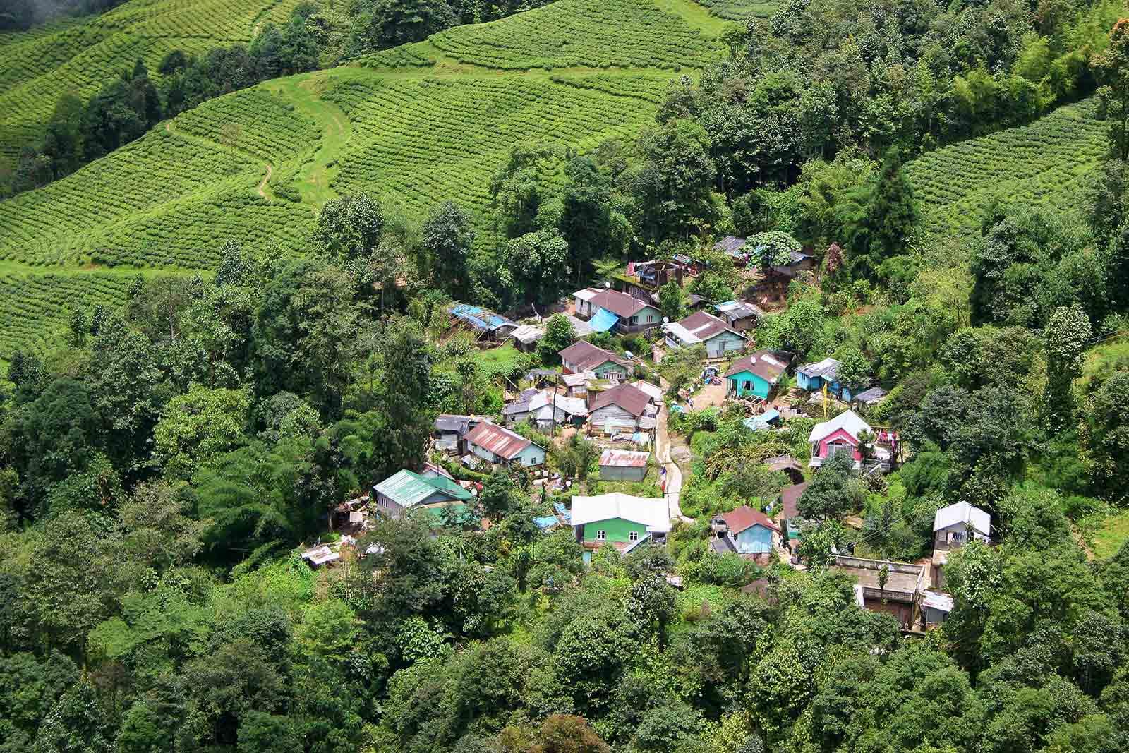 Tea fields in Darjeeling, India.
