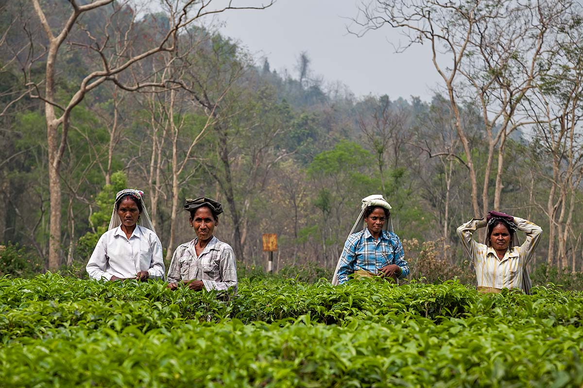 Tea pickers working under the sun of Darjeeling.