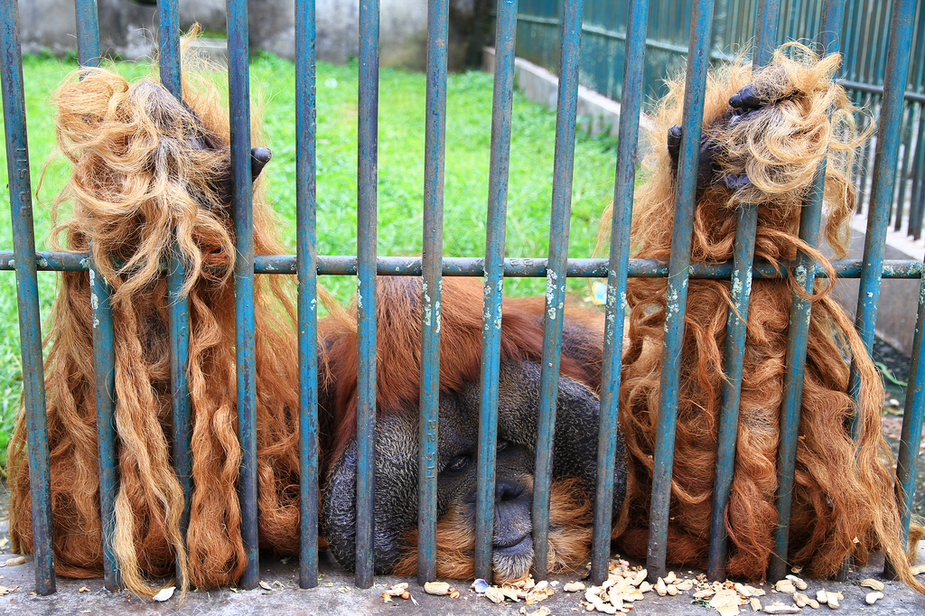 An Orang Utan in thr zoo of Bukittinggi in Sumatra. Stop animal captivity!