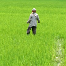 Green - Wokring in the rive fields of Manipur, India.