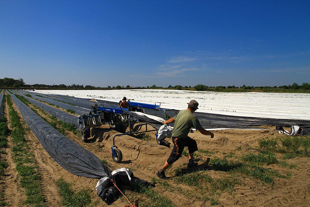Asparagus harvest in Slovakia.