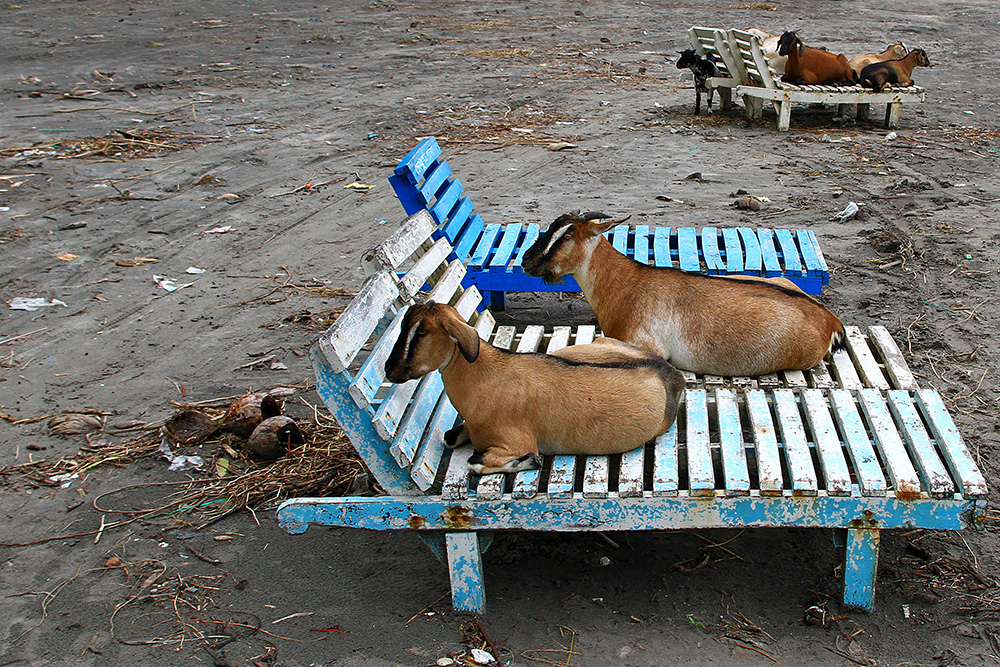The only ones lying on beach chairs in Kuakata were goats...