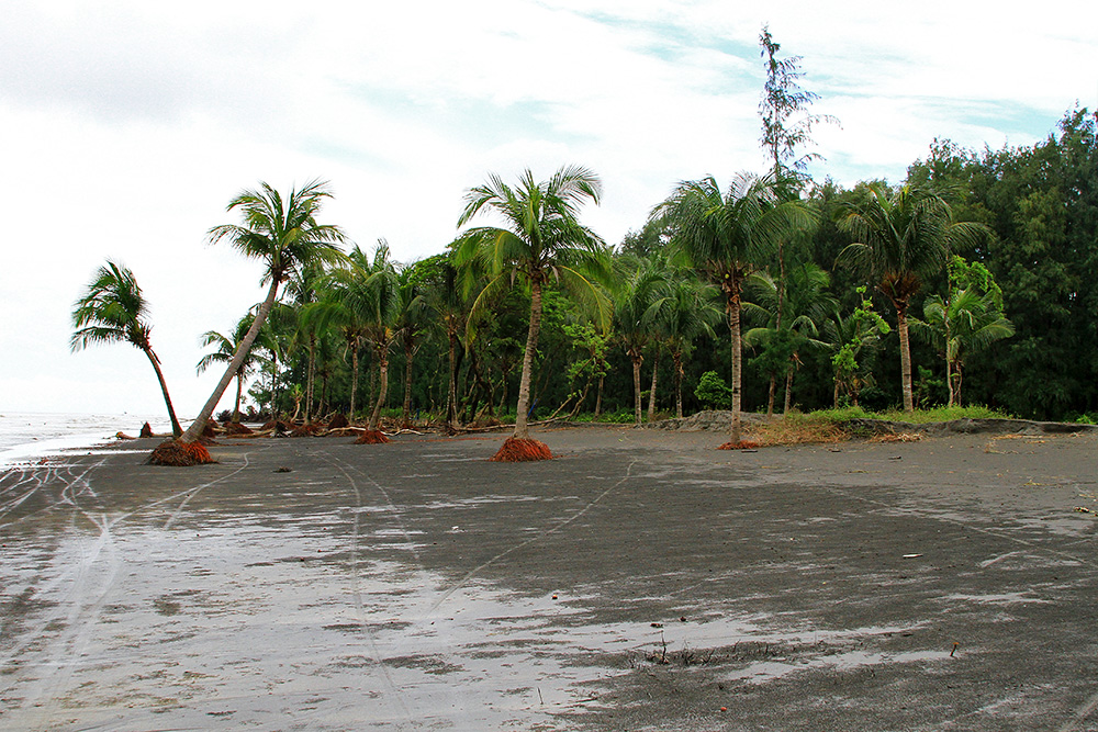 Palm trees on the beach in Kuakata, Bangladesh.