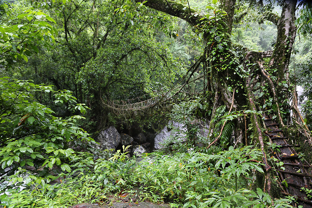 Because they are alive and still growing, the bridges actually gain strength over time — and some of the ancient root bridges used daily by the people of the villages around Cherrapunji may be well over 500 years old.