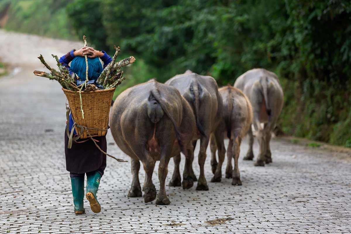 In between the Honghe Hani rice terraces, you will come across farmers with buffaloes or cows.