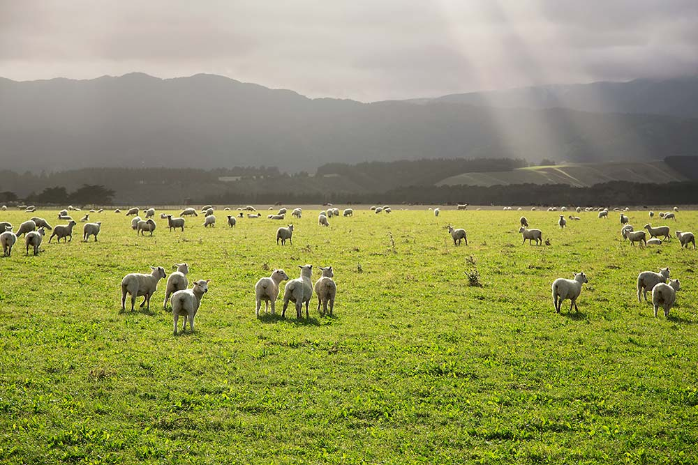 You won't find many people on Cape Palliser, instead, the fields are full of sheep along the road to the south coast of the North Island of New Zealand.