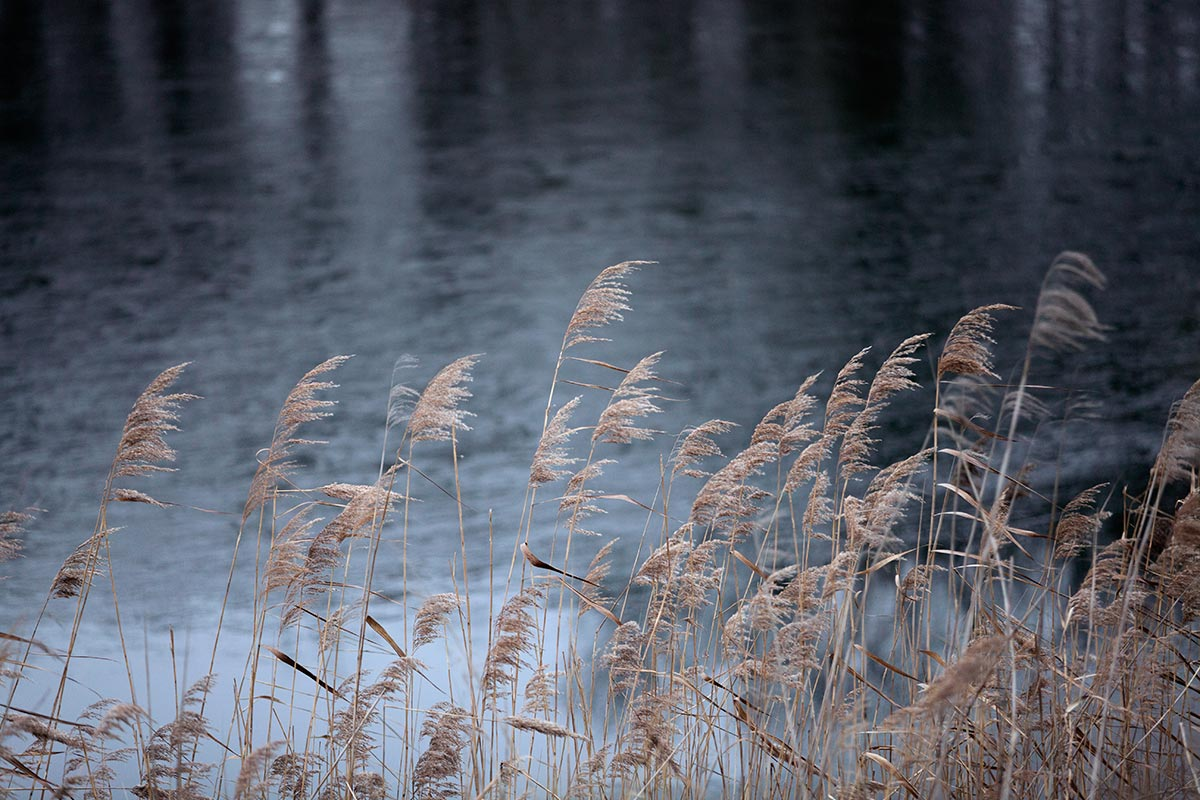 Reed around Lake Neusiedl in Austria.