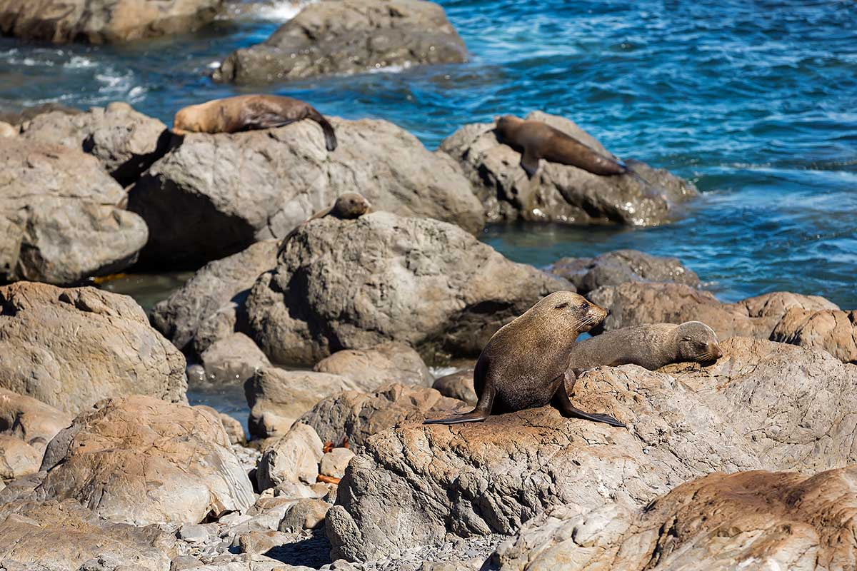 Just before you reach the Cape Palliser lighthouse you must keep your eyes open for the nearby seal colony.