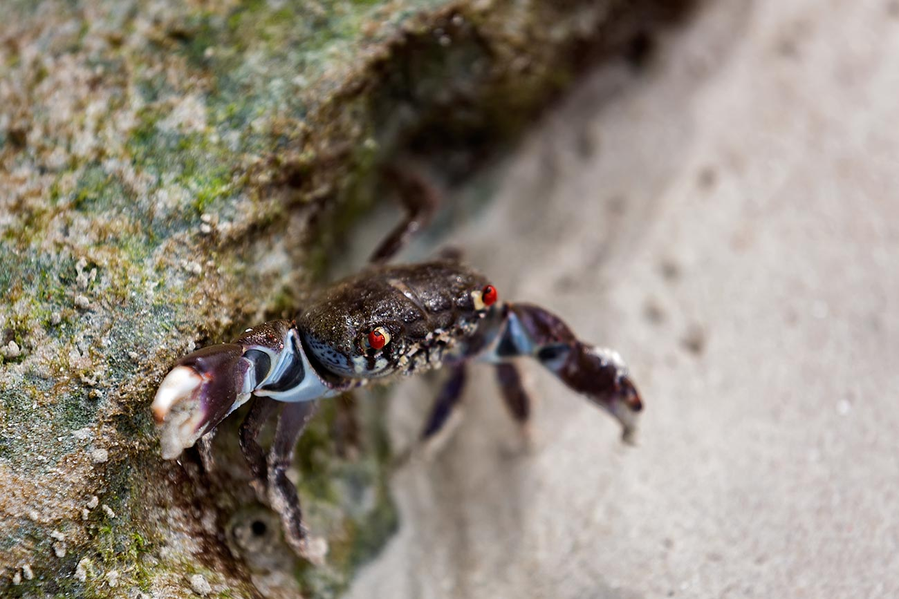 havelock-island-beach-crab-andaman-islands-india