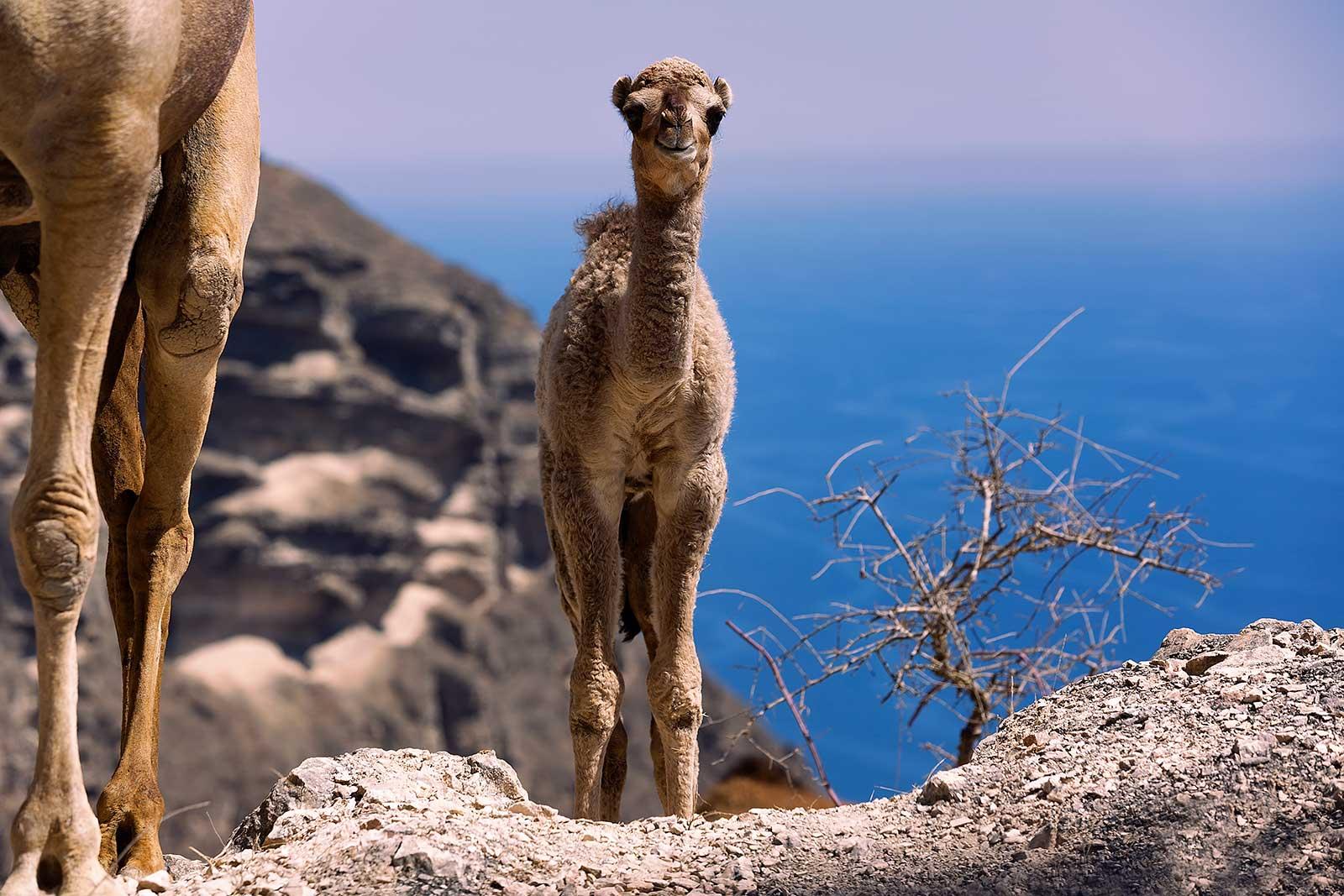 camel-west-salalah-oman