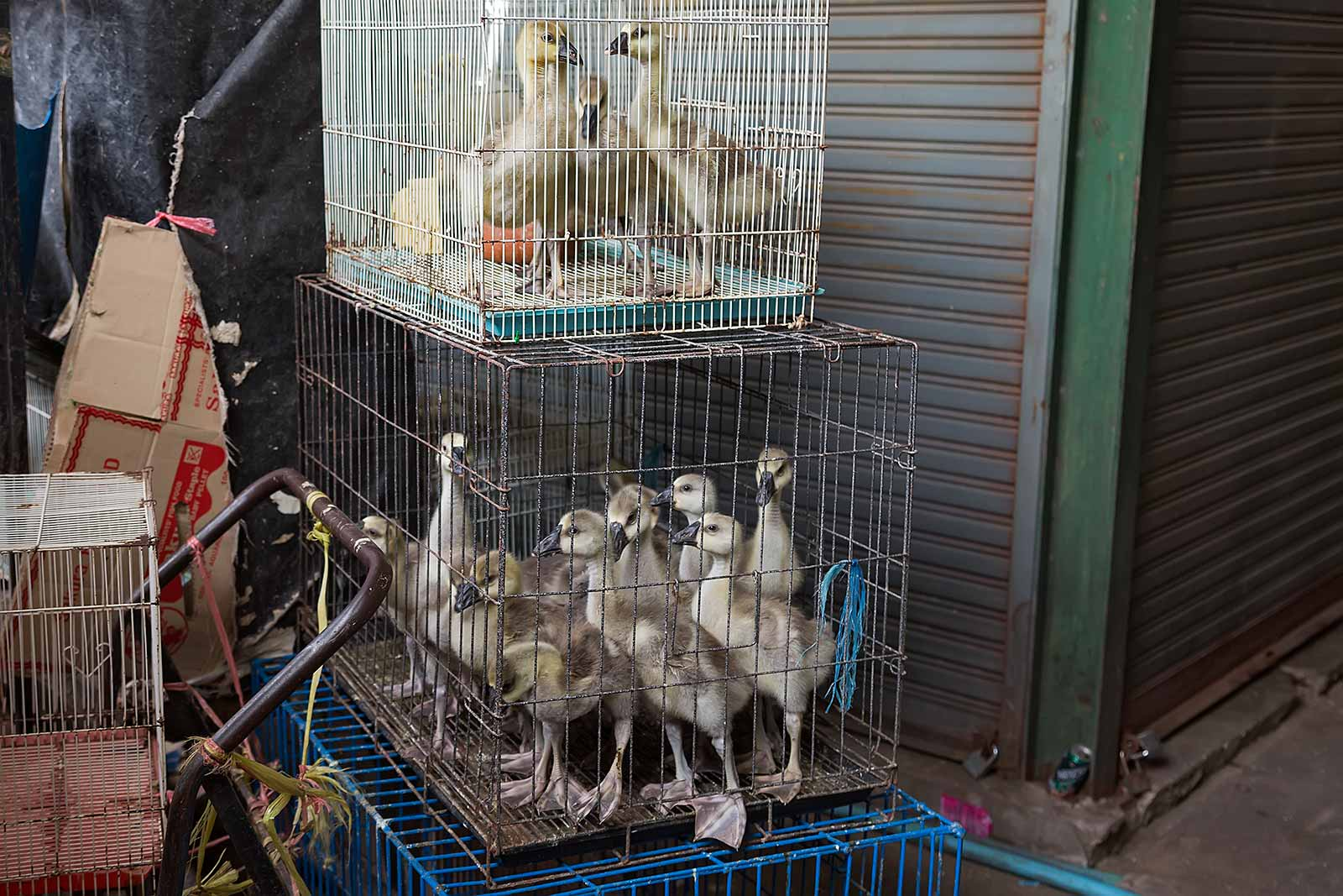 chatuchak-market-ducks-cage-pet-section-bangkok-thailand