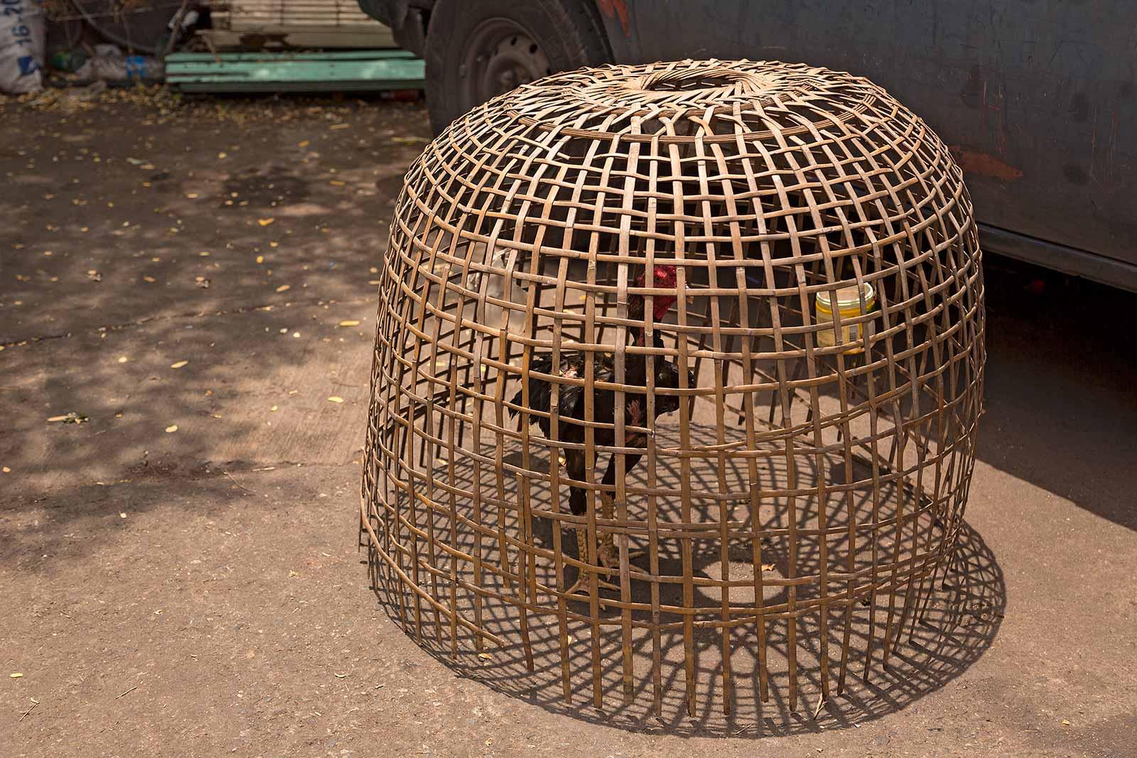 chatuchak-market-pet-section-cock-fighting