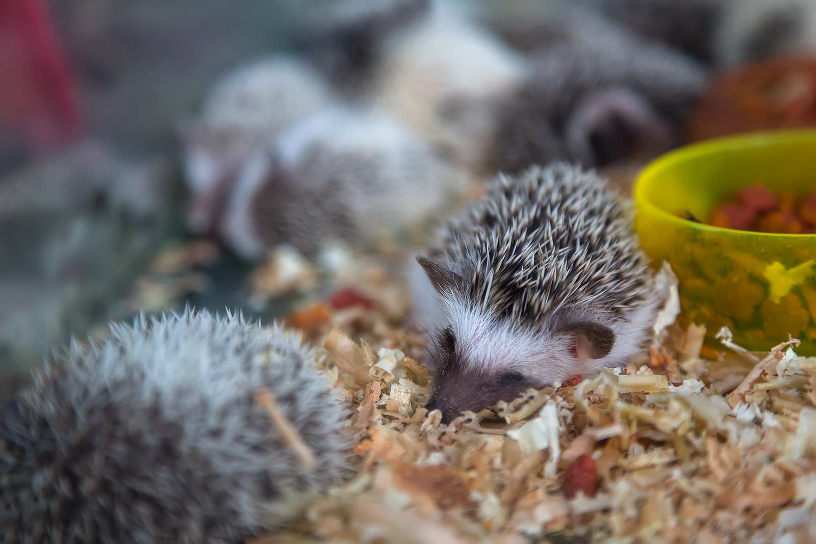 chatuchak-market-pet-section-hedgehog