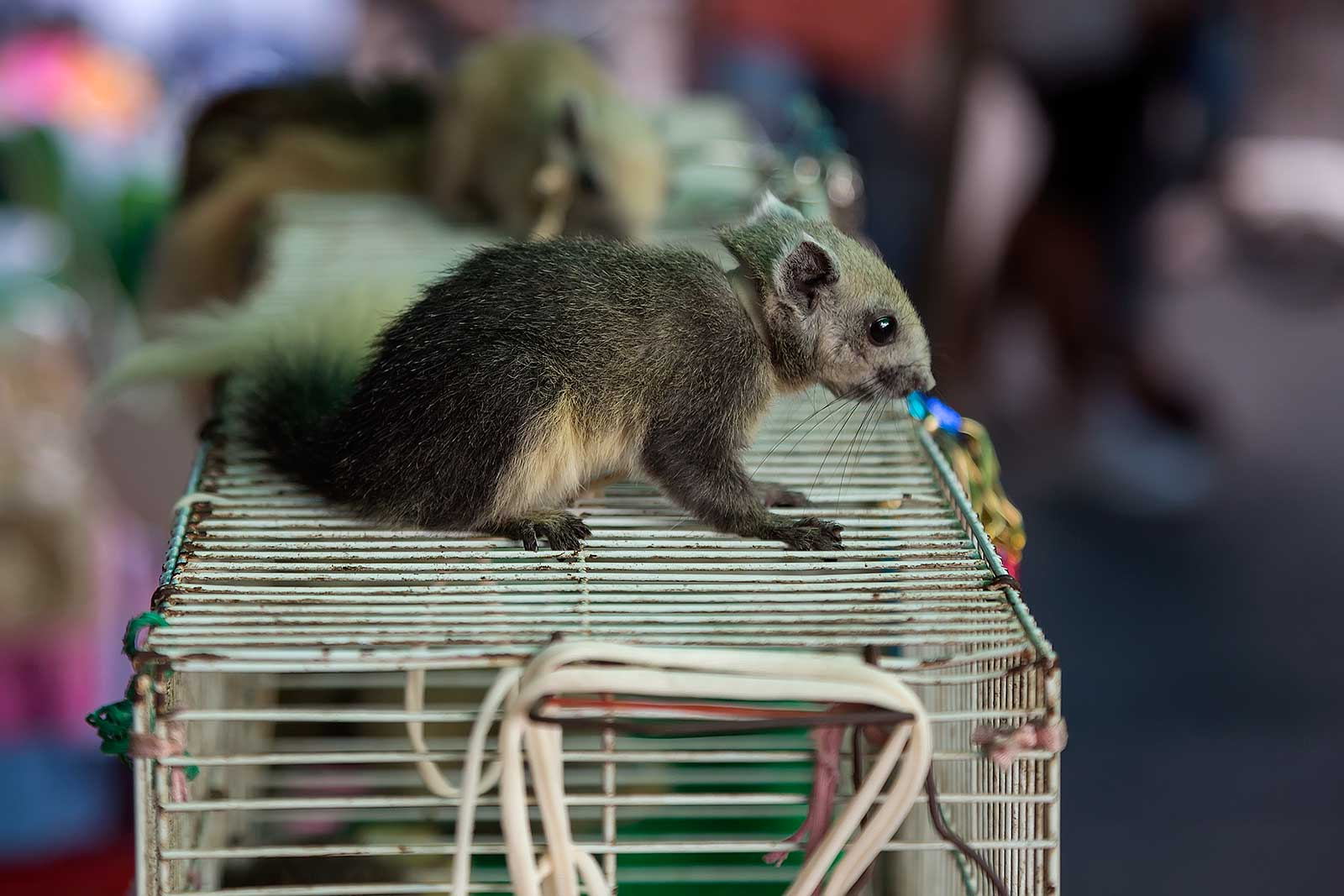 chatuchak-market-pet-section-squirrel