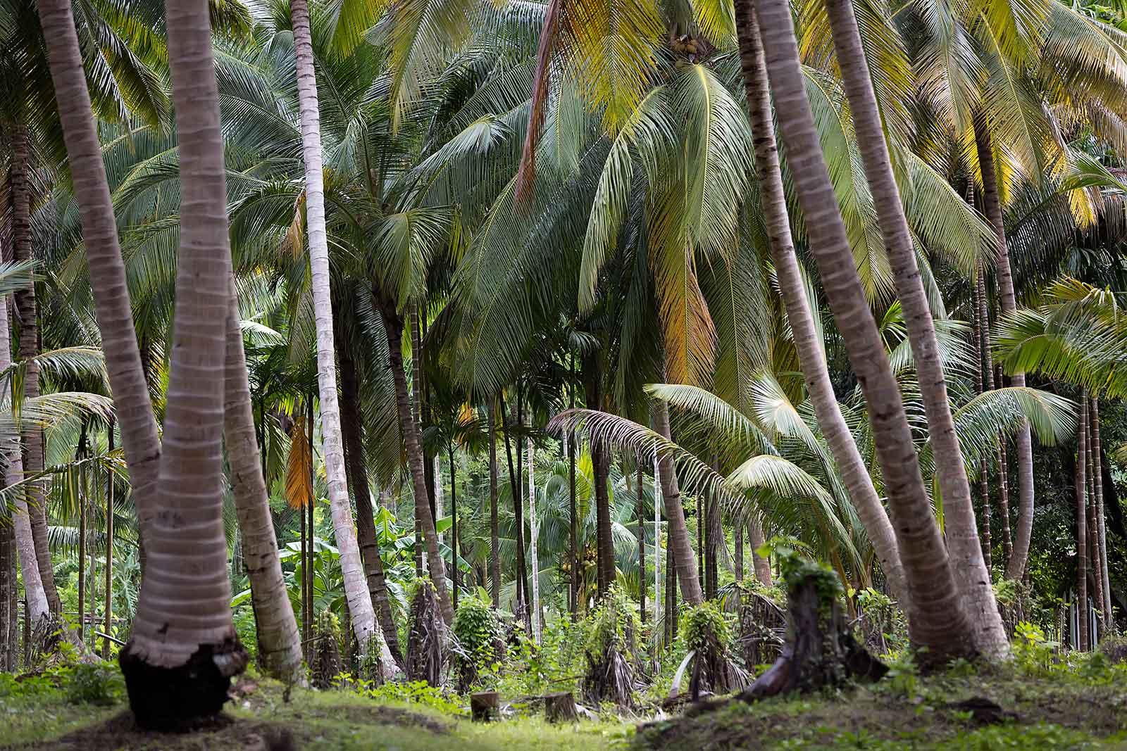 havelock-andaman-islands-palm-trees-india