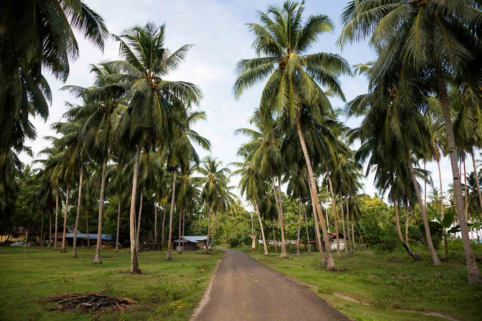Maluku Islands: The way down south on Ambon islands lead us through several beautiful palm tree alleys.
